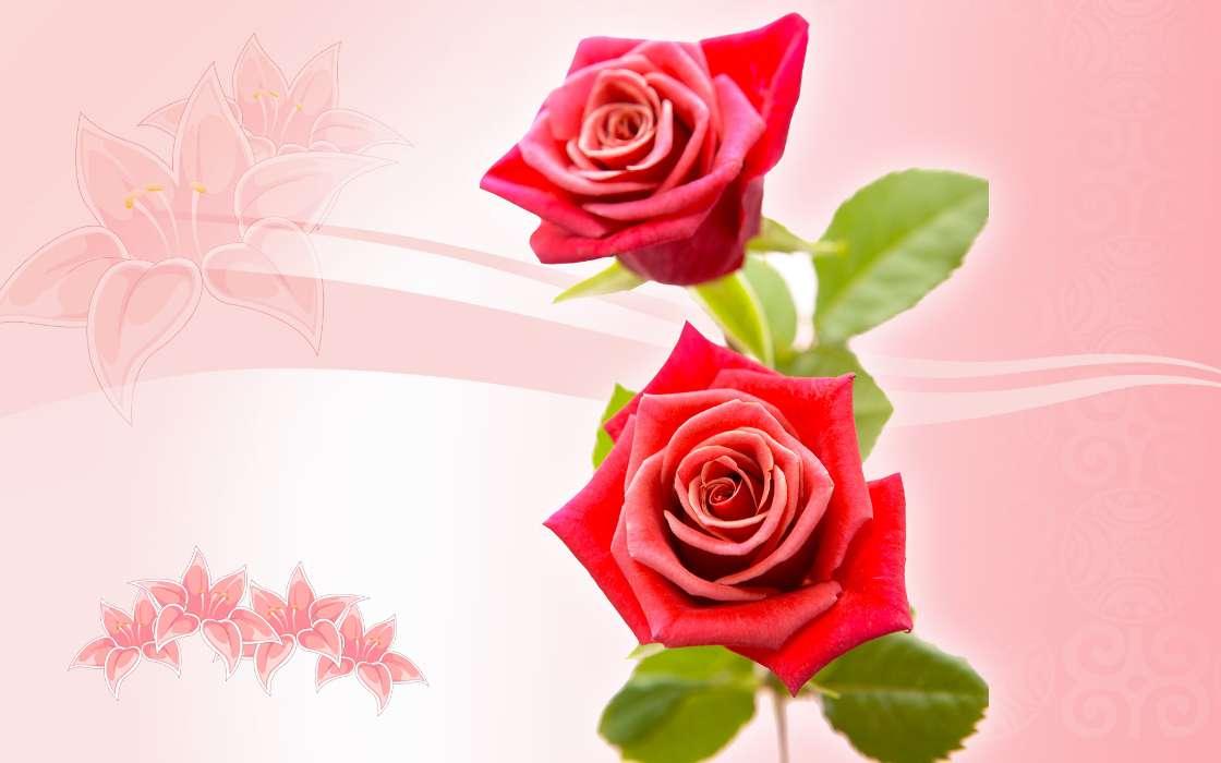 Фото цветов розы на открытку 848